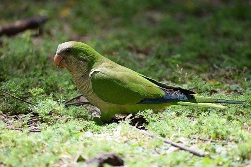 Monk Parakeet, Parakeet, Parrot, Small Parrot, Green