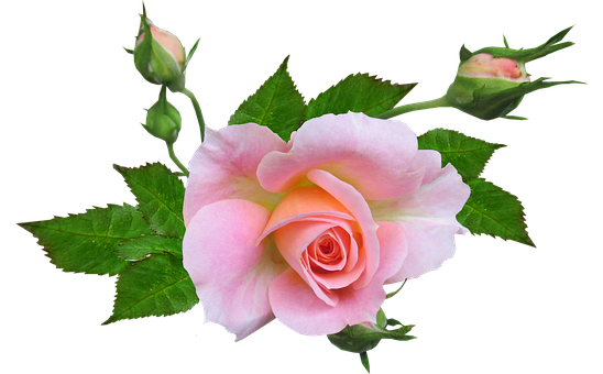 Flower, Rose, Pink, Cut Out