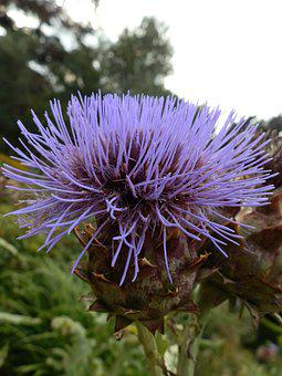 Thistle, Scottish, Vivid, Purple, Wild, Natural, Bloom