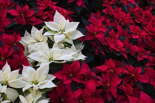 Good Night, Red, Christmas, Nature, Flower, Plant
