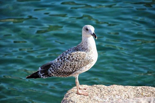 Seagull, Ave, Marina, Sea, Rock