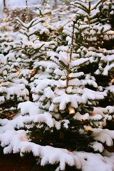Fir Trees, Snow, Winter, Snowy, Christmas, Forest