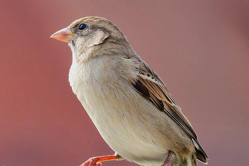 Sparrow, Sperling, Bird, Songbird, Close Up, Birds