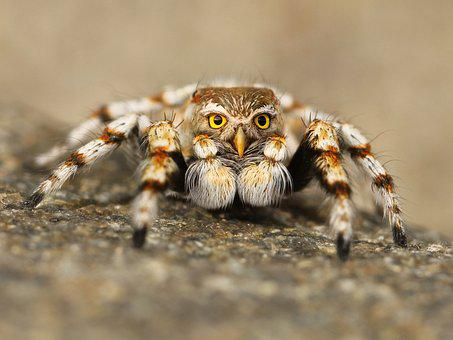 Speule, Spider, Jumping Spider, Tarantula, Close, Macro