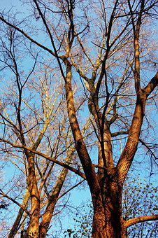 Trees, Tree Tops, Trunk, Branch, Two Trees