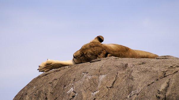 Lion, Food, Animal, Lioness, Animals, Lyon, Wild, King