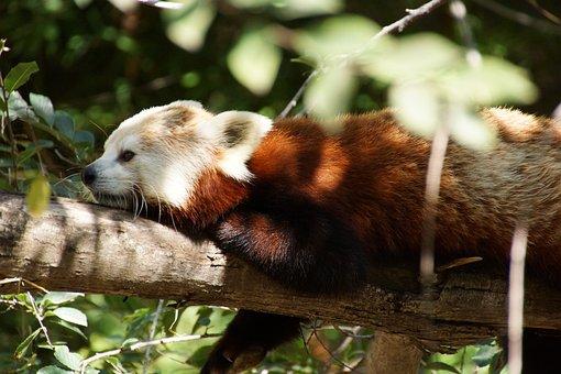 Red Panda, Animal, Zoo