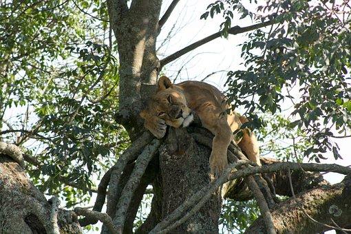 Lioness, Kenya, Africa, Lake, Nakuru, Safari