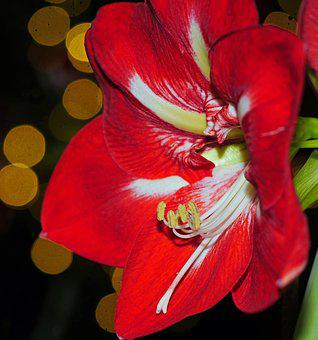 Amaryllis, Christmas, Christmas Flower, Winter Flower