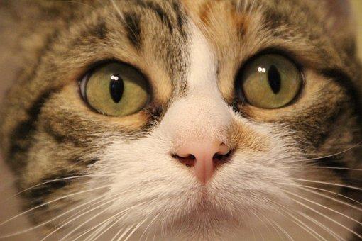 Cat, Look, Animal, Feline, European Cat, Animals, Eyes