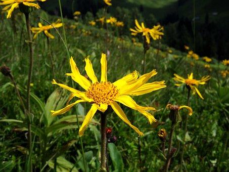 Arnica, Arnica Montana, Mountain Well-to-hire, Yellow