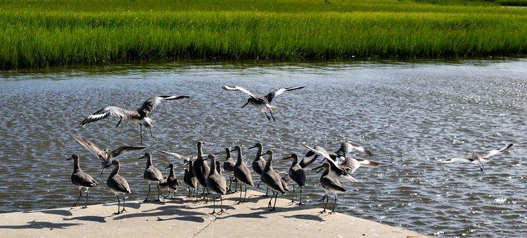 Sandpiper, Bird, Wildlife, Animal, Shorebird, Nature