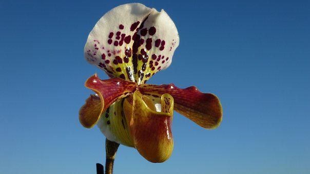 Frauenschuh, Orchid, Magnificent, Blossom, Bloom