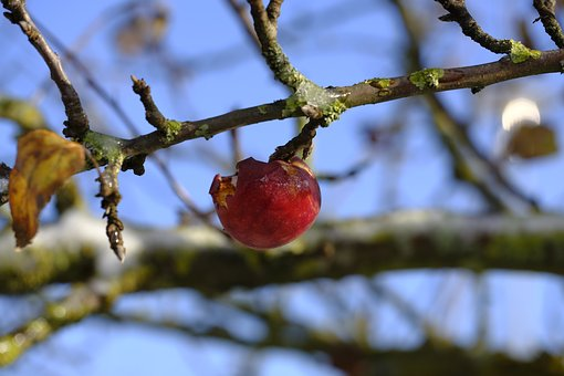 Apple, Fruit, Winter, Frost, Cold, Branch, Transient