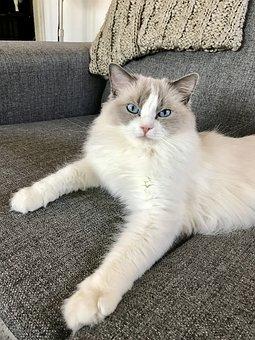 Cat, Ragdoll, Animal, Kitten, Blue, Eyes, Pet, Adorable