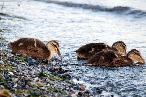 Ducks, Chicks, Water Bird, Waterfowl, Ducklings