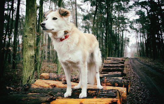 Dog, Forest, Animal, Fur, Spacer, Dogs, Autumn, Animals
