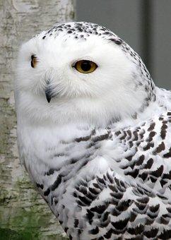 Snowy Owl, Owl, Bird, Feather, Nature, White, Animals