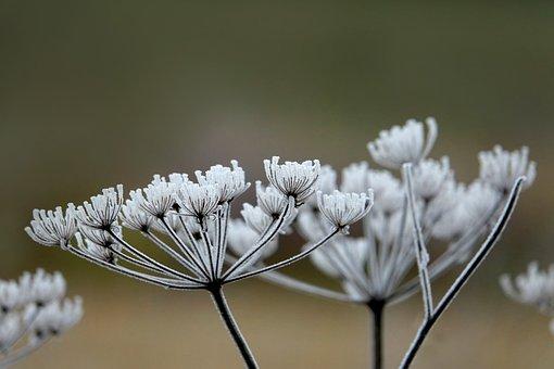 Hoarfrost, Plant, Nature, Frost, Frozen