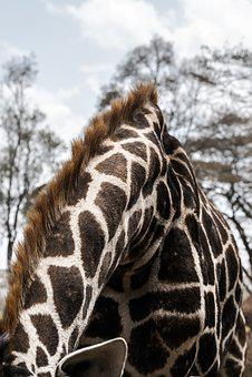 Giraffe, Africa, Nature, Wildlife, Mammal, Safari