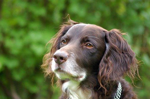 Dog, Hundeportrait, Münsterländer, Pet, Hide Nose