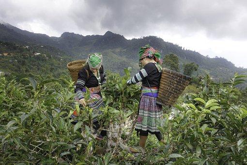 Tea Picking, The Papoose, Women, Minority, High Land