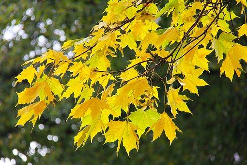 Maple, Leaves, Autumn, Leaf, Fall, Season, Red, Yellow