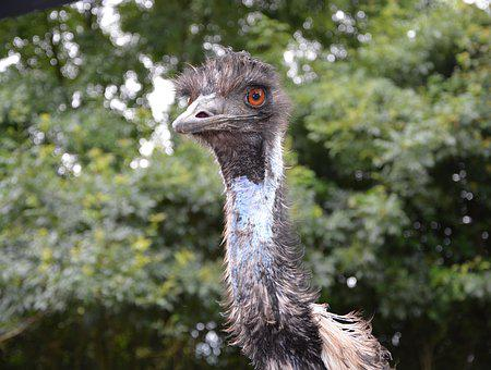 Emu, Big Bird, Nature, Fauna, Plumage, Head
