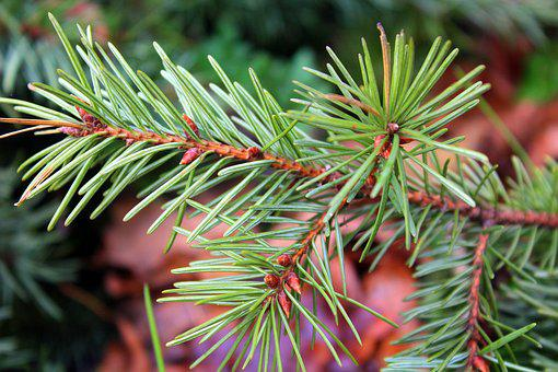 Spruce, Sprig, Coniferous, Branch, Needle, Needles