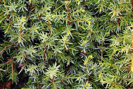 Juniper, Bush, Pine, Ornamental Shrub