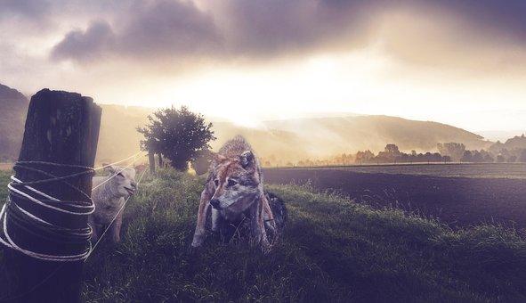 Wolf, Lamb, Fence, Pack Animal, Nature, Animal