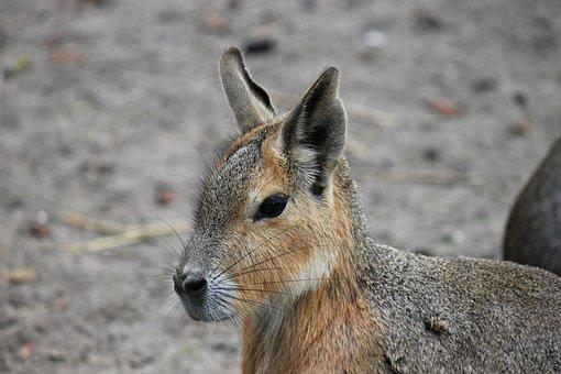 Hare, Hasenkopf, Rabbit Ears, Pampashase, Rodent