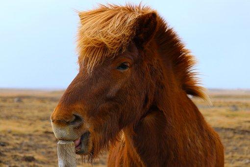 Horse, Iceland, Flat, Land, Blue Sky, Animal, Pony