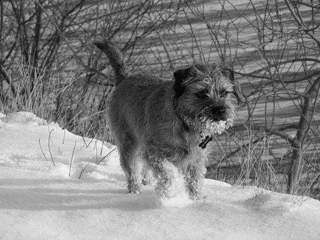 Snow, Dog, Border Terrier, Lake, Trees, Reservoir