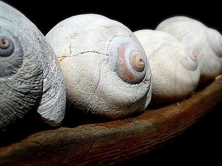 Moon Shells, Sea Shells, Seashells, Nature, Shell