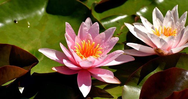 Water Lily, Plant, Aquatic Plant, Teichplanze, Pond