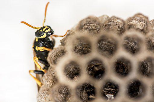 Wasp, Combs, The Hive, Insect, Close Up