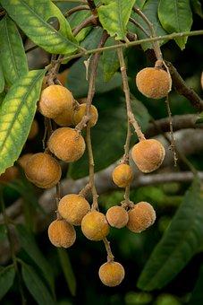 Hairy Rosewood, Dysoxylum Rufum, Tree, Fruits, Seeds