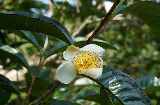 Flower Tea, Green Tea Leaves, Vietnam, White Flowers