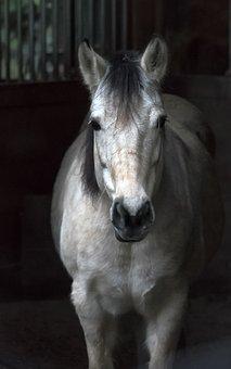 White, Horse, Barn, Animal, Mammal, Mane, Nature