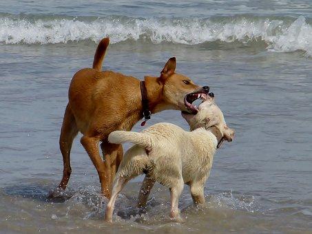 Dogs, Beach, Play, Romp, Deals, Bite, Argue, Race, Run