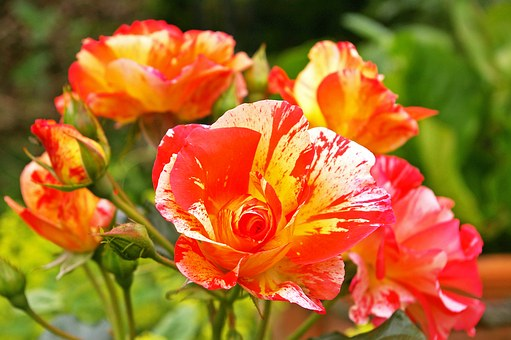 Painter Rose, Bicolor Rose, Blossom, Bloom, Yellow Red