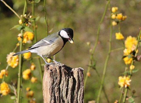 Great Tit, Garden Birds, Feeding, Bird, Garden, Great
