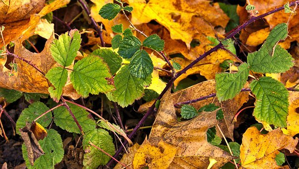 Autumn, Blackberry, Leaves, Bramble, September