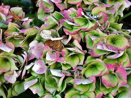 Hydrangea, Blossom, Bloom, Hydrangea Flower, Garden