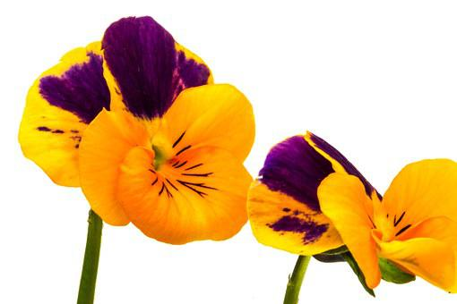 Pansy, Flower, Yellow, Purple, Spring, Plant, Blossom