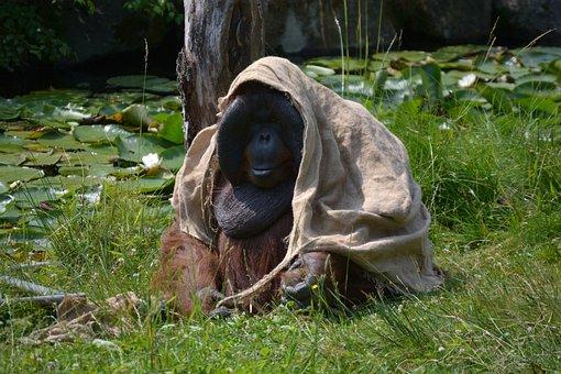 Boras, Zoo, Orangutan