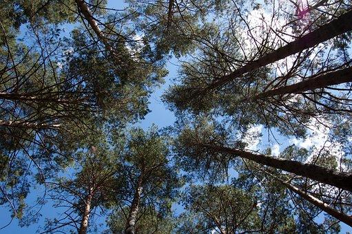 Sosnovyi Bor, Pine Forest, Bottom View