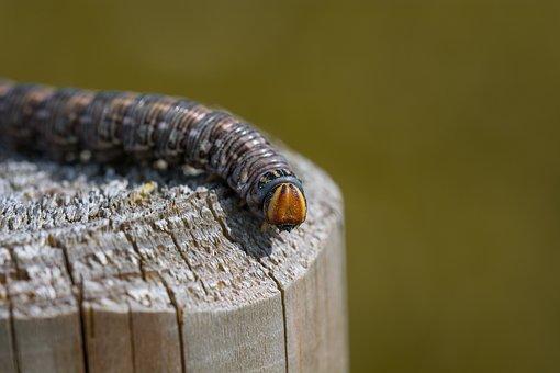 Kiefernschwaermer, Caterpillar, Sphinx Pinastri, Moth