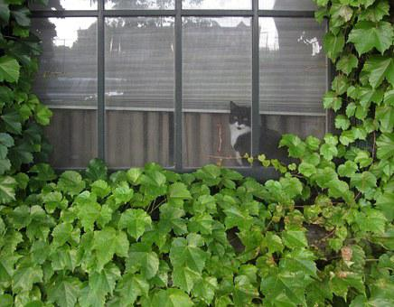 Black, White, Cat, Window, Looking, Out, Ivy, Covered